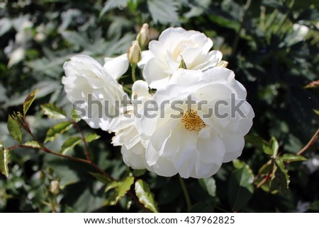 Bunch of lush white roses - stock photo
