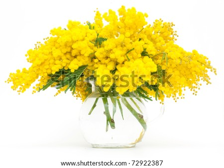 bunch of mimosa - stock photo