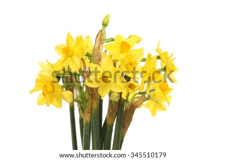 Bunch of miniature daffodils isolated against white - stock photo