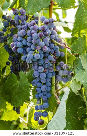 Bunch of multi-colored red wine grapes ripening on grapevine in vineyard