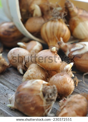 bunch of narcissus and crocus bulbs on wooden table - stock photo