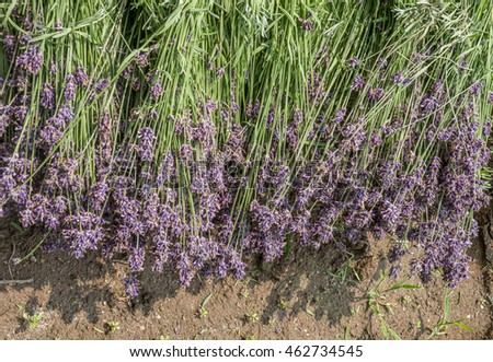 Bunch of newly harvested lavender