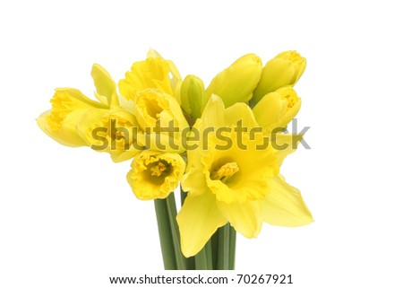 Bunch of opening golden daffodil flowers isolated against white - stock photo