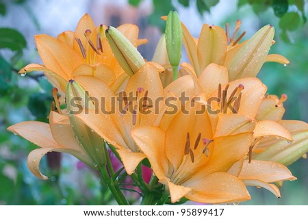 Bunch of orange lilies with droplets of rain - stock photo
