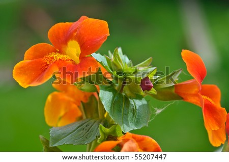Bunch of orange monkey flowers with a bud - stock photo