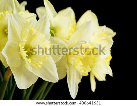 Bunch of pale yellow daffodils on black - stock photo