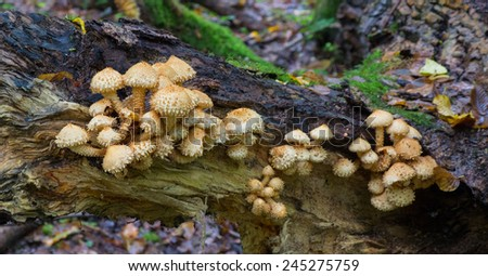 Bunch of pholiota fungi against mossy background - stock photo
