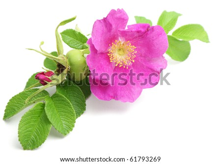 Bunch of pink dog rose isolated over pure white background. Flower in the corner of image. - stock photo
