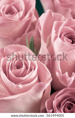 Bunch of pink rose flowers close-up as background. Soft focus, shallow DOF.  - stock photo