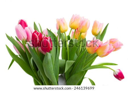 bunch of pink tulip flowers of different shades  isolated on white background