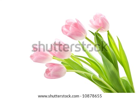 Bunch of pink tulips against white background. Shallow DOF. - stock photo