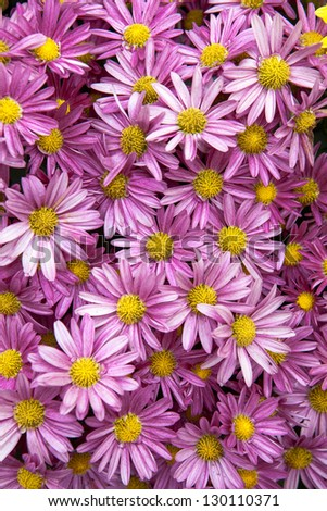 Bunch of Purple Daisies - stock photo