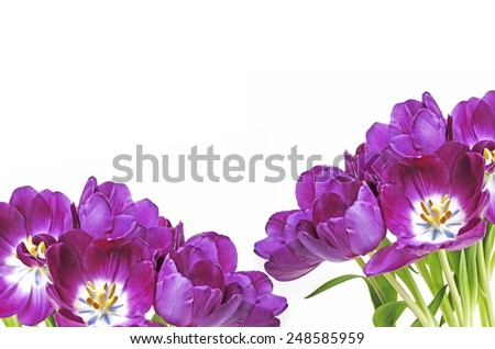bunch of purple tulips on white background - stock photo