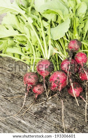 Bunch of radishes with soil, gardening - stock photo