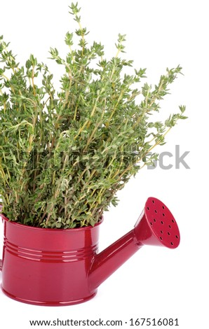 Bunch of Raw Fresh Green Thyme in Purple Tin Watering Can closeup on white background - stock photo