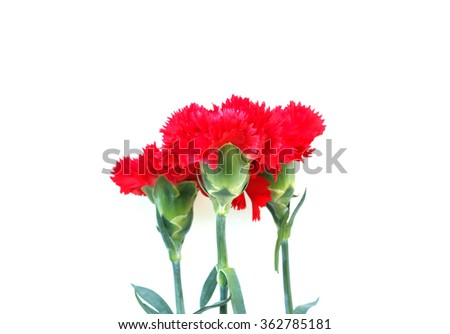 Bunch of red cloves isolated on white