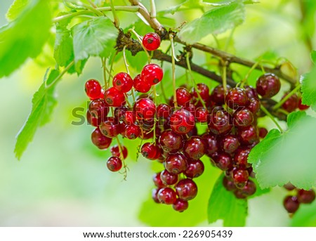 Bunch of red currant berry on the bush.  - stock photo