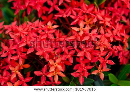 "Bunch of red Ixora. It is in the ""Rubiaceae"" family."