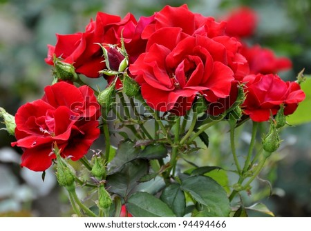 bunch of red roses on a bush in the garden