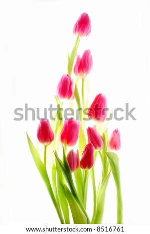 bunch of red tulips - stock photo