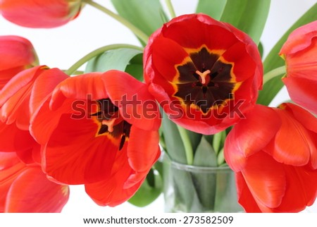Bunch of red tulips. Spring flowers.