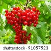 Bunch of redcurrant - stock photo
