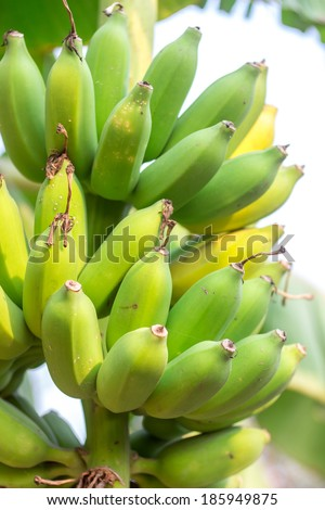 Bunch of ripe bananas on tree.