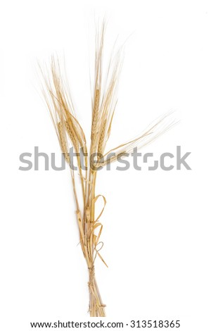 Bunch of ripe barley with spikes and leaves on a light background. Isolation.