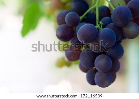 Bunch of ripe blue grapes against green leaves in summer - stock photo
