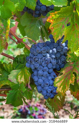 Bunch of ripe grapes among green leaves in the vineyards of Piedmont, Northern Italy. - stock photo