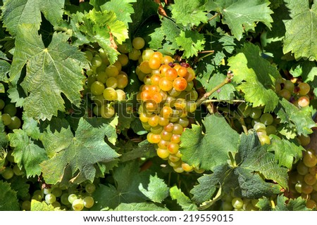 Bunch of ripe grapes among vine leaves in vineyards of Piedmont, Northern Italy. - stock photo