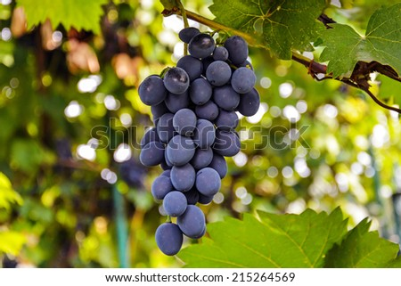 bunch of ripe grapes flavored - stock photo