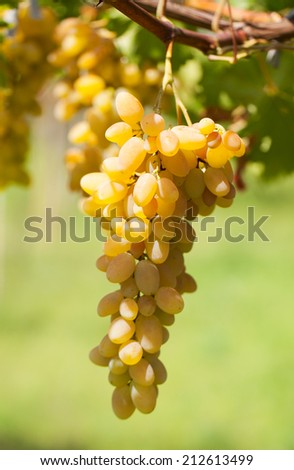 Bunch of ripe grapes on a branch