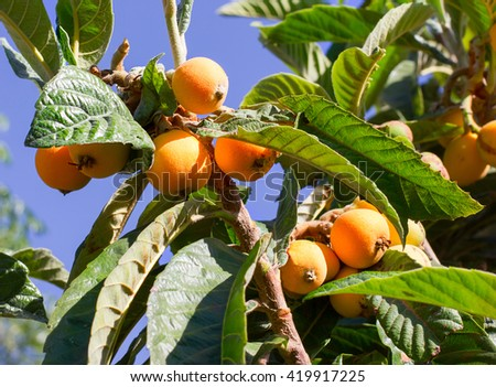 Bunch of ripe loquats on the tree. - stock photo