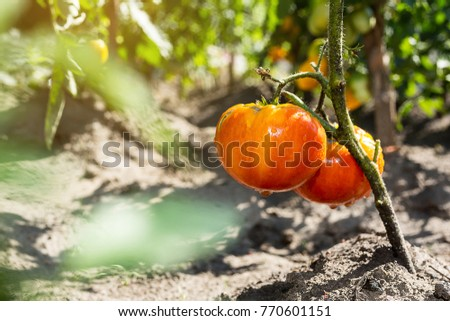 Bunch of ripe natural cherry red tomatoes in water drops growing in a greenhouse  ready to pick