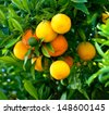Bunch of ripe oranges hanging on a tree - stock photo