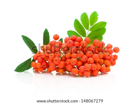 bunch of ripe red ash and green leaves on a white background close-up. horizontal photo.