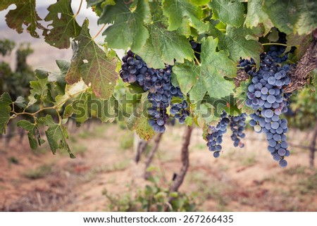 Bunch of ripe red wine grapes on vine - stock photo
