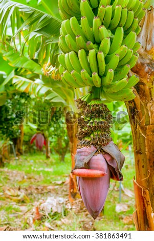 Bunch of ripening bananas on the tree in garden - stock photo