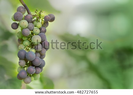 Bunch of ripening fresh grapes