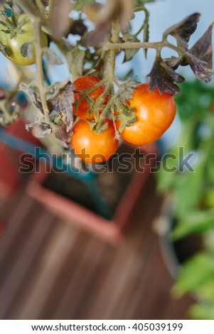 Bunch of ripening fresh red tomatoes on a potted house plant viewed from above looking down to the flowerpot and floor, selective focus to the vegetables