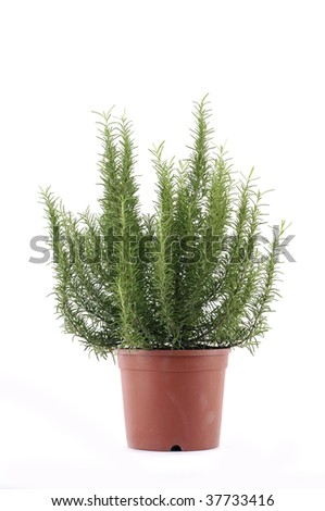 Bunch of rosemary herb in a bucket