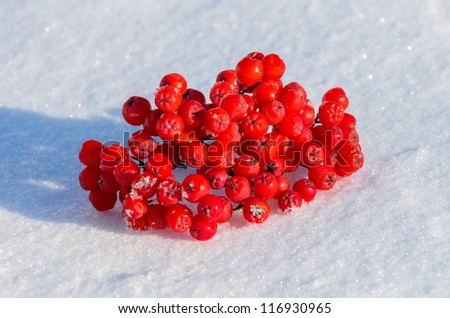 Bunch of rowan lies on snow - stock photo