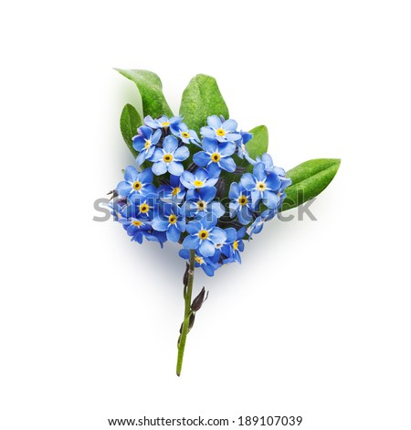 Bunch of small blue forget me not flowers with leaves isolated on white background clipping path included - stock photo