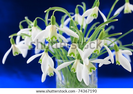 Bunch of snowdrop (Galanthus nivalis) flowers on a dark blue background - stock photo