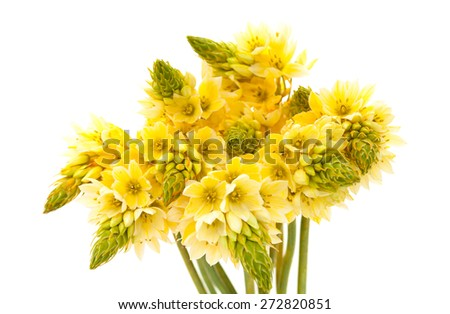 Bunch of  star-of-bethlehem flowers isolated on white background - stock photo