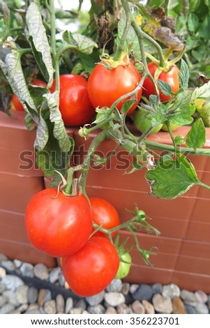 Bunch of the fresh organic ripe tomatoes in the auumn garden bed - stock photo