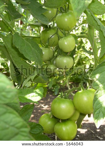bunch of tomatoes - stock photo