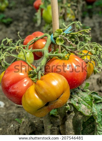 Bunch of tomatoes ripening on shrub - stock photo