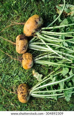 Bunch of unwashed fresh turnips, top view - stock photo